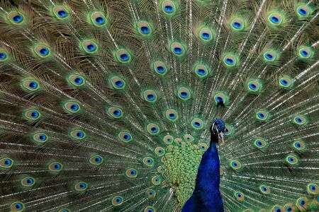 The Indian peafowl (Pavo cristatus), also known as the common peafowl, and blue peafowl. Imagens