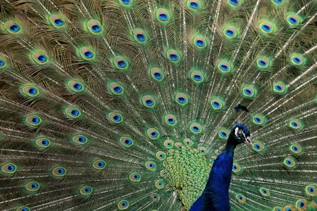 The Indian peafowl (Pavo cristatus), also known as the common peafowl, and blue peafowl