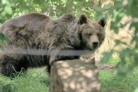 WROCLAW, POLAND - JUNE 09, 2020: Eurasian brown bear. The Wroclaw Zoological Garden is the oldest and most visited zoo in Poland (and the fifth in Europe). Stok Fotoğraf