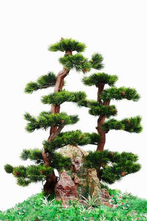 diminutive: Japanese pine tree on the white background. Stock Photo