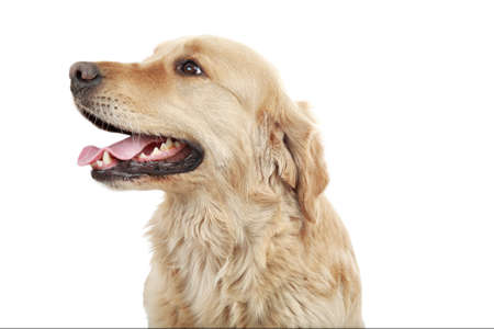 Golden retriever in the studio. Stock Photo - 3309504