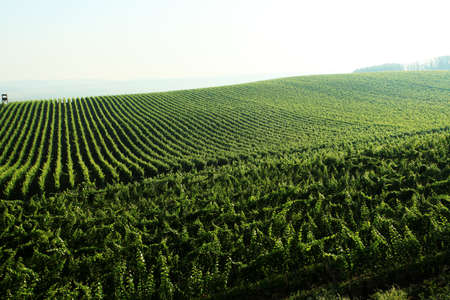 viniculture: A picturesque vineyard landscape. Viniculture. Stock Photo