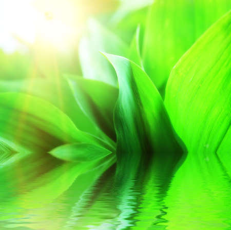 Fresh green leaves with drops of water, lily of the valley. Stock Photo - 7389624