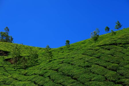 cropland: Beautiful landscape - Tea plantation fields. Munnar, Kerala, India. Stock Photo