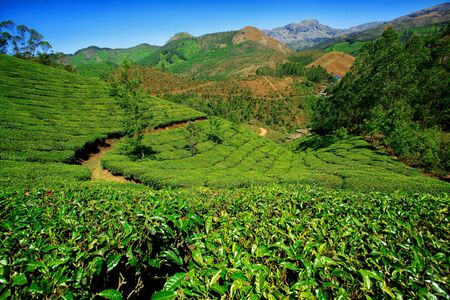 Beautiful landscape - Tea plantation fields. Munnar, Kerala, India. photo