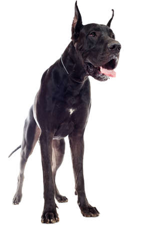 Black Great Dane sitting over white background photo