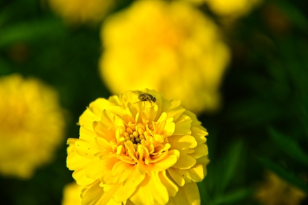 A common fly or bug on marigold flower. The flower is orange and yellow colored. The insect is visible.  photo