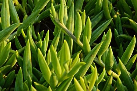 charnu: La plante est unique avec ses feuilles charnues et de couleur vert Banque d'images