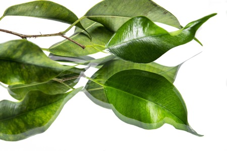 refelction: Green leaves with clear refelction on white surface