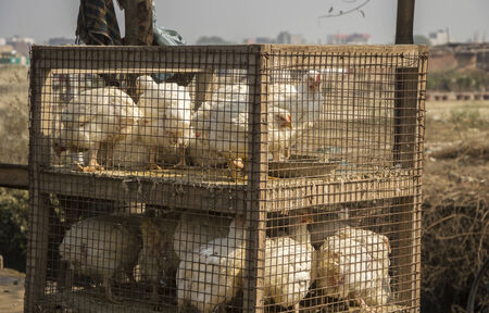 penned: Caged chicken hens ready to be offered as meat.