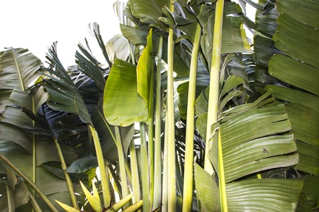 Banana leaves and other branches of green color   photo