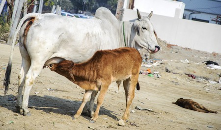 Cow feeding calf milk  Cow is white while calf is brown  photo