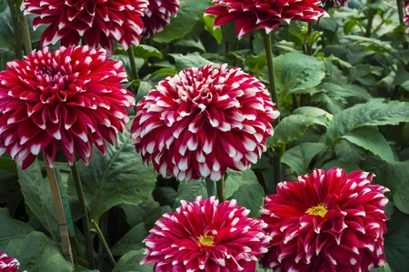 Red dahlia flowers in the garden