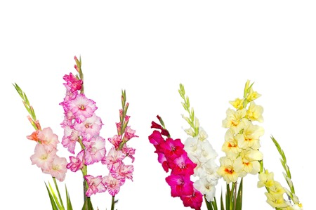 Mixed gladiolus flowers on white background,
