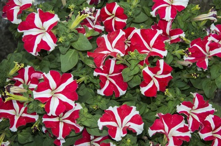 Red and white petunia flowers with green leaves  Stock Photo