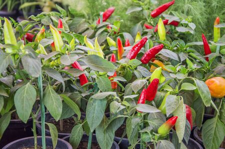 red chilly: Red chilly plants in the garden with leaves Stock Photo
