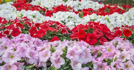 red pink: Red pink and white petunia on flowerbed with green plants
