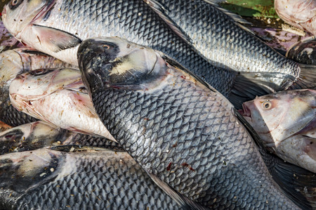 rui: Rohu fish being sold in groups