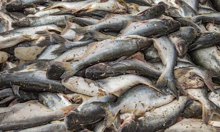 fresh water fish: Pile of fresh water fish on sale Stock Photo