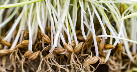 barley seeds: Germinated barley seeds with roots and stems Stock Photo