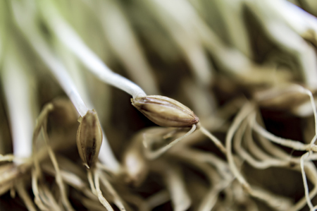 barley seeds: Few barley seeds germinated and their roots from sprouts Stock Photo