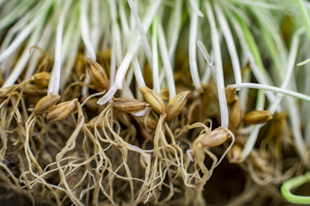 barley seeds: Barley seeds with new roots and stems in sprouts Stock Photo