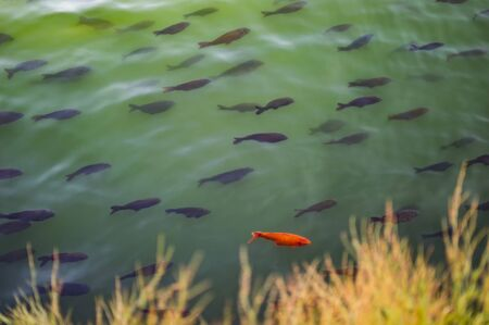 Fish in the lake of green water which has mixed varieties of fish.