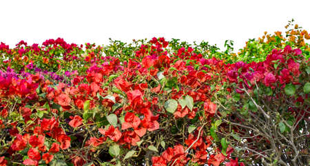 suburbia: Bougainvillea flowers of red and mixed colors