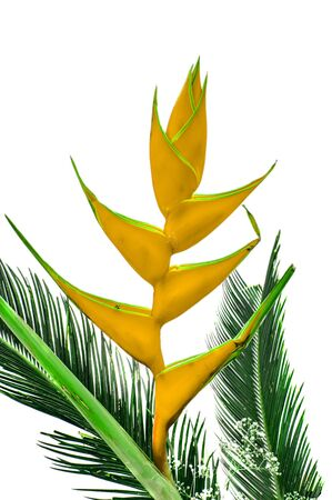 heliconiaceae: Yellow heliconia flowers and green leaves of palm tree