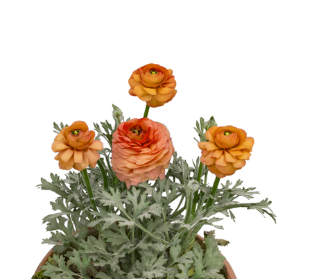 gebera: Yellow red gebera flowers and plants in pot. Stock Photo