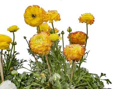 abloom: Yellow and orange gerbera flowers along with green buds and leaves.