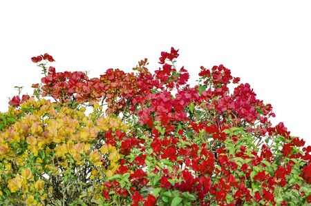 mixed colors: Mixed colors flowers on shrubs of bougainvillea and other plants