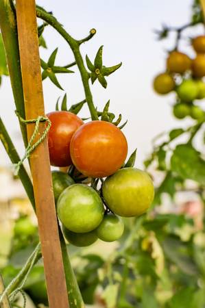 string together: Tomatoes on stems supported by string and stick tied together.