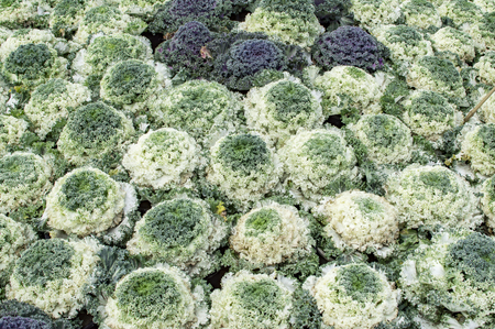 flowering kale: Green ornamental cabbage on display in design.