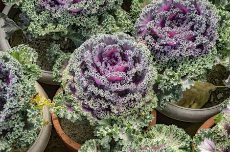 flowering kale: Ornamental purple cabbage in pots. Stock Photo