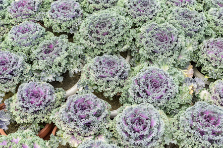 flowering kale: Various decorative cabbages of purple color.