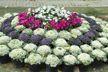 flowering kale: Ornamental designer mixed cabbage on display. Stock Photo