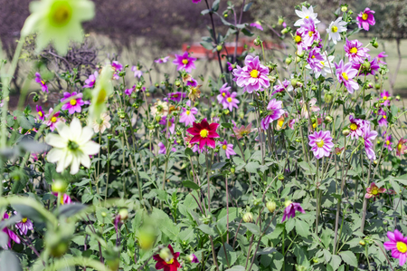 aster flowers: Mixed aster flowers in lawn. Stock Photo