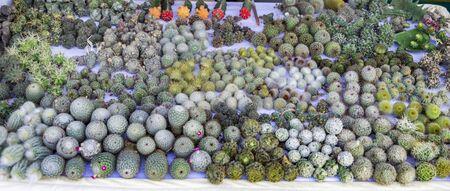 cactus species: Cactus bulbs of different species on sale Stock Photo