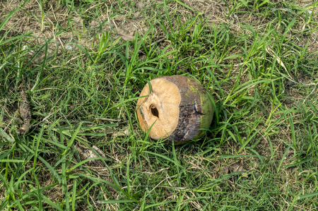 the thrown: Used coconut thrown in the ground and left Stock Photo