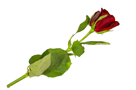 Single red rose on white surface and with green leaves