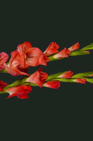 Pink and red gladiolas on shaded background
