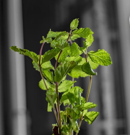 Mint plant and stems erecting straight on black wall behind it