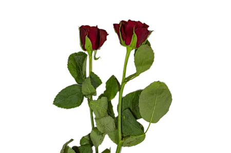 Two roses with green stalk and leaves on white surface Stock Photo