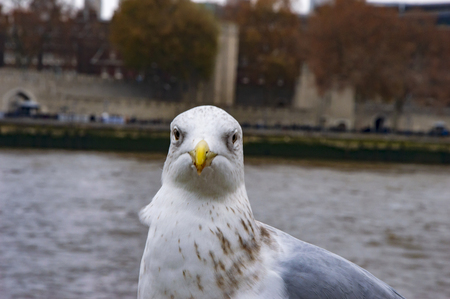 A white grey pigeon on river thames pier and buildings across the river.