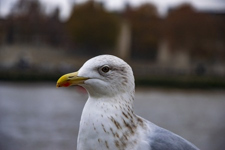 The white pigeon from sides on river thames pier in london