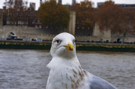 A pigeon with white neck on river thames pier with buildings behind in uk 免版税图像
