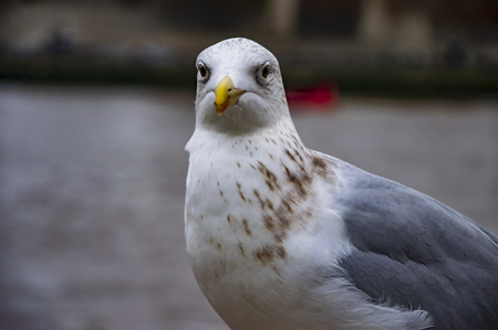 The pigeon on river thames with eyes open and looking straight in camera. Stok Fotoğraf