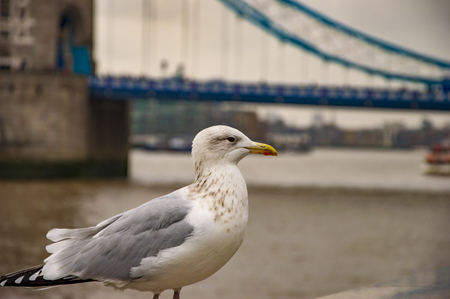 The pigeon on river thames and london bridge in uk