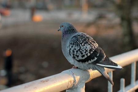 beak doves: Pigeon on the bridge in autumn park.